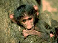 Baboon Tales - image